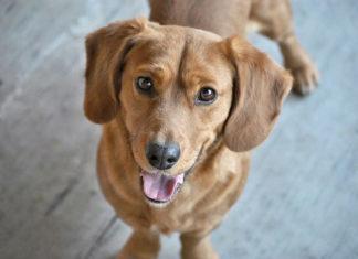 Labrador – nie łatwy do wychowania